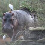Hippo In Malawi