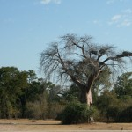Bao Bao Tree In Zambia